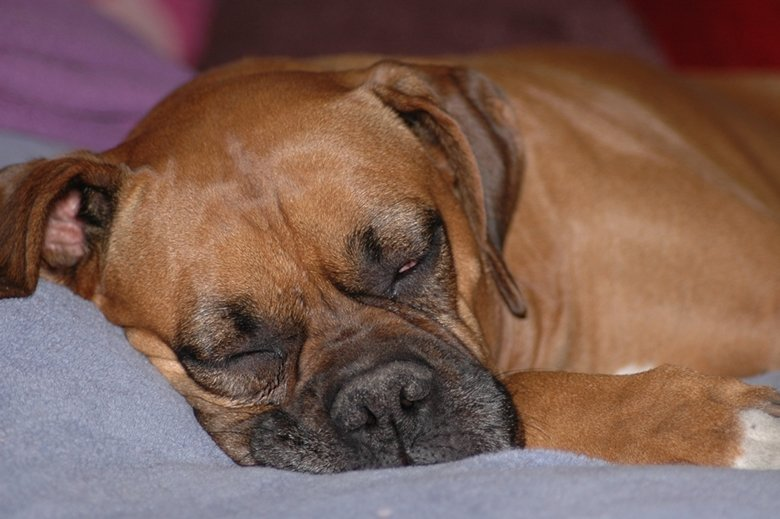 Boxer sleeping in a bed