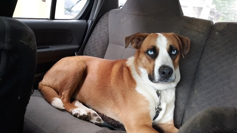 Boxsky dog resting in car back eat