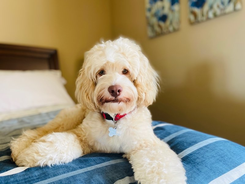 Buff and white Cockapoo on a bed