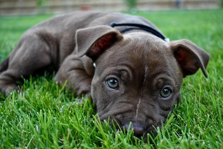 Grey Boston Terrier Pitbull mix