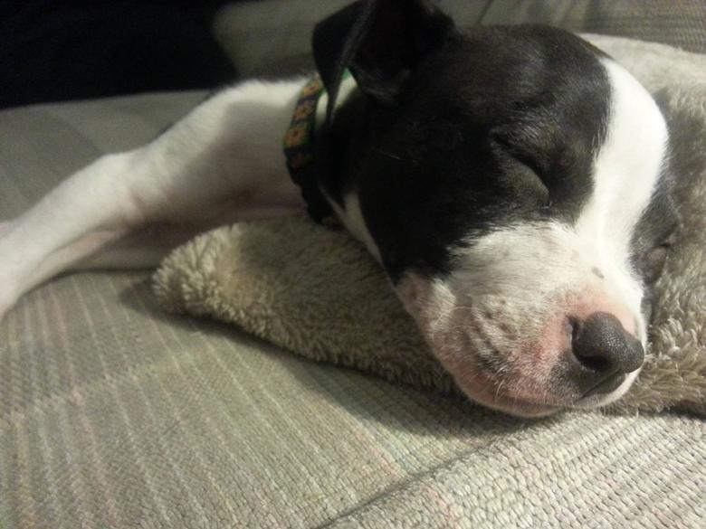 Boston Terrier Pitbull Mix Puppy