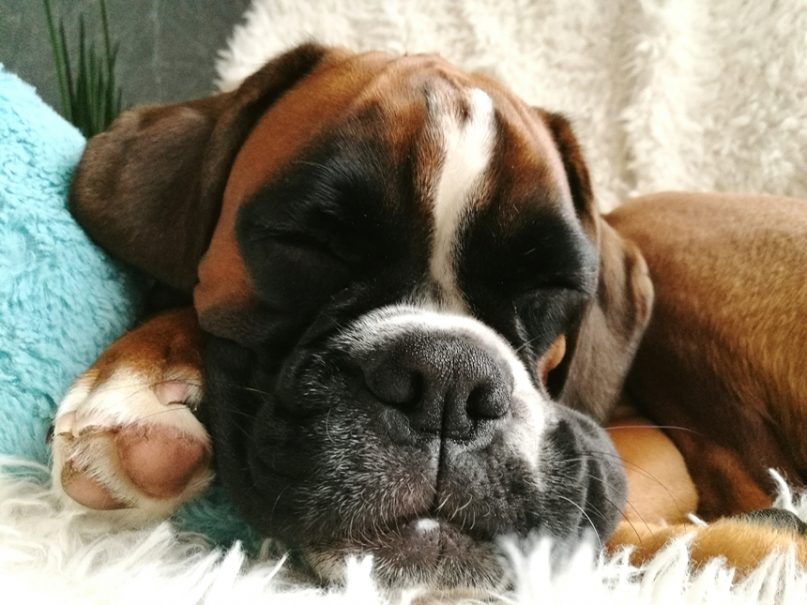 Close-up Portrait Of Boxer Sleeping On Bed At Home