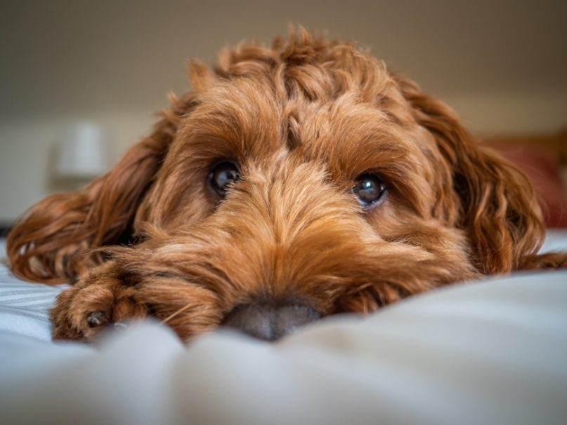a Cockapoo lying on a bed