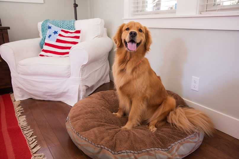 Golden Retriever sitting in his bed.