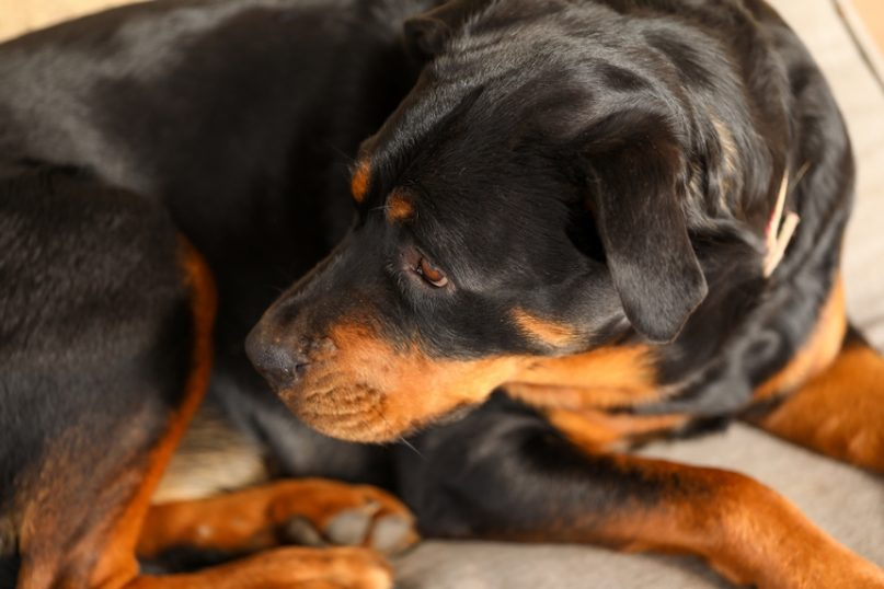 Rottweiler curled up on dog bed