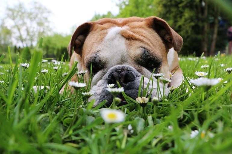English Bulldog lying in a garden