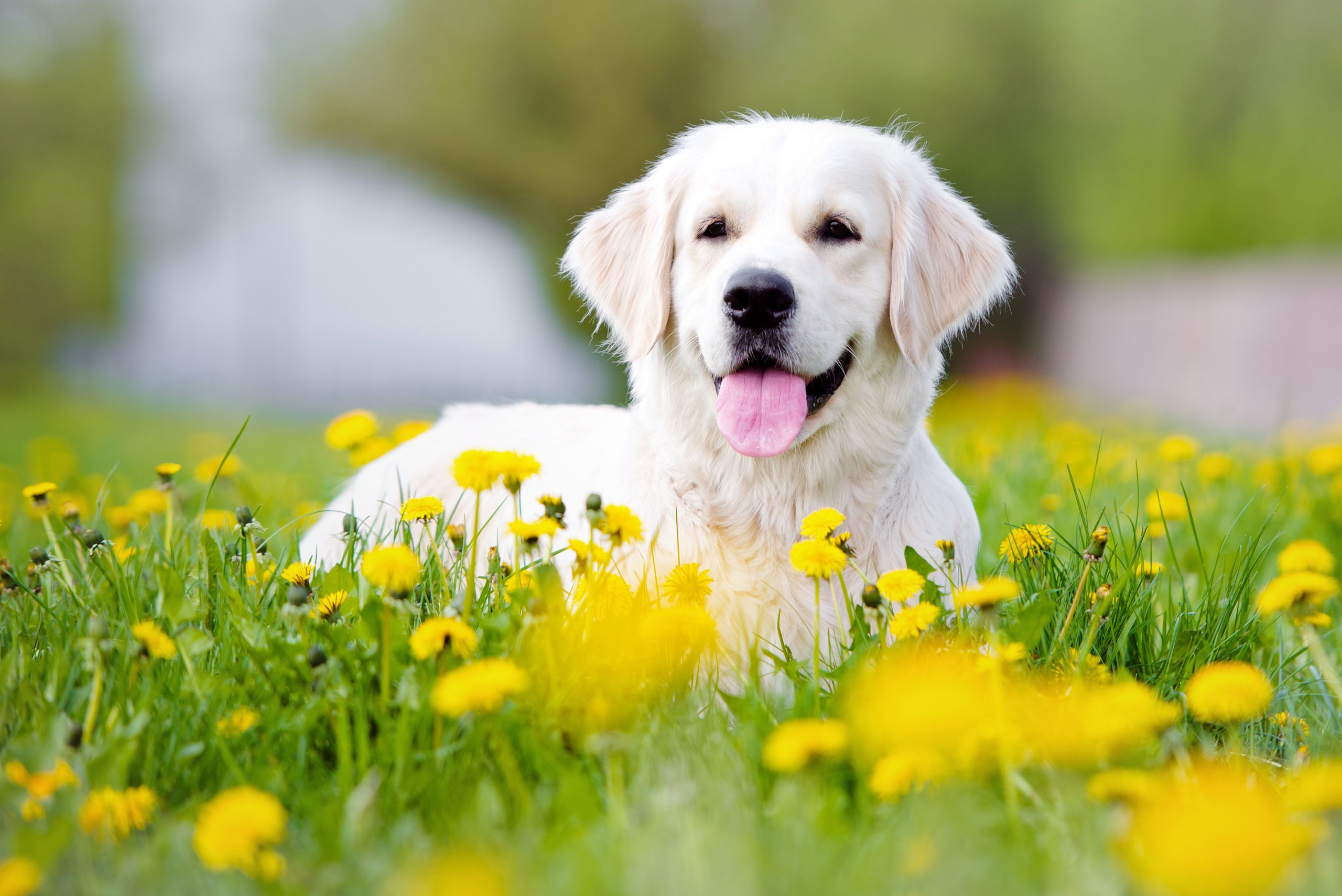 Golden Retriever laying down in field